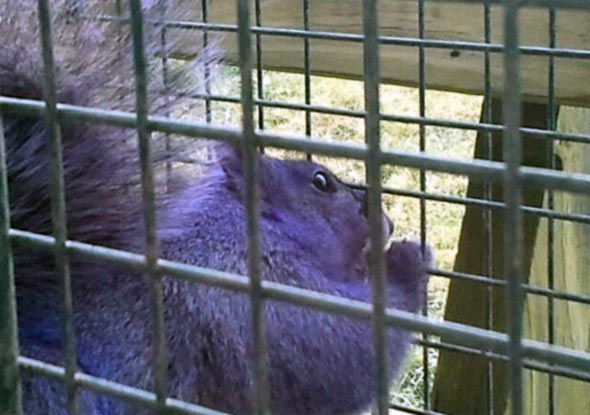 Purple Squirrel 02