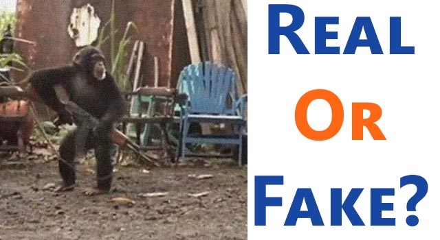 When Chimps Attack: Real or Fake?